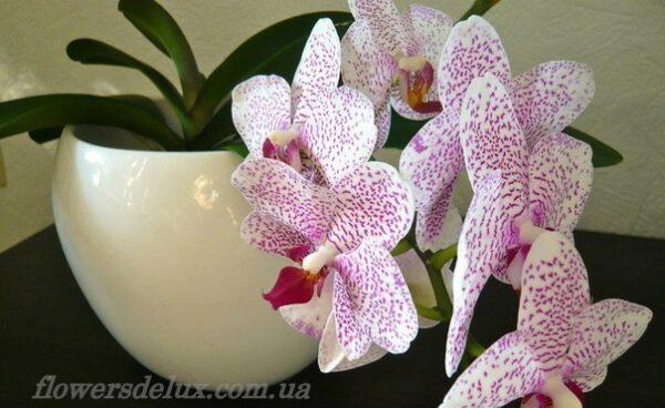 Орхидея №9